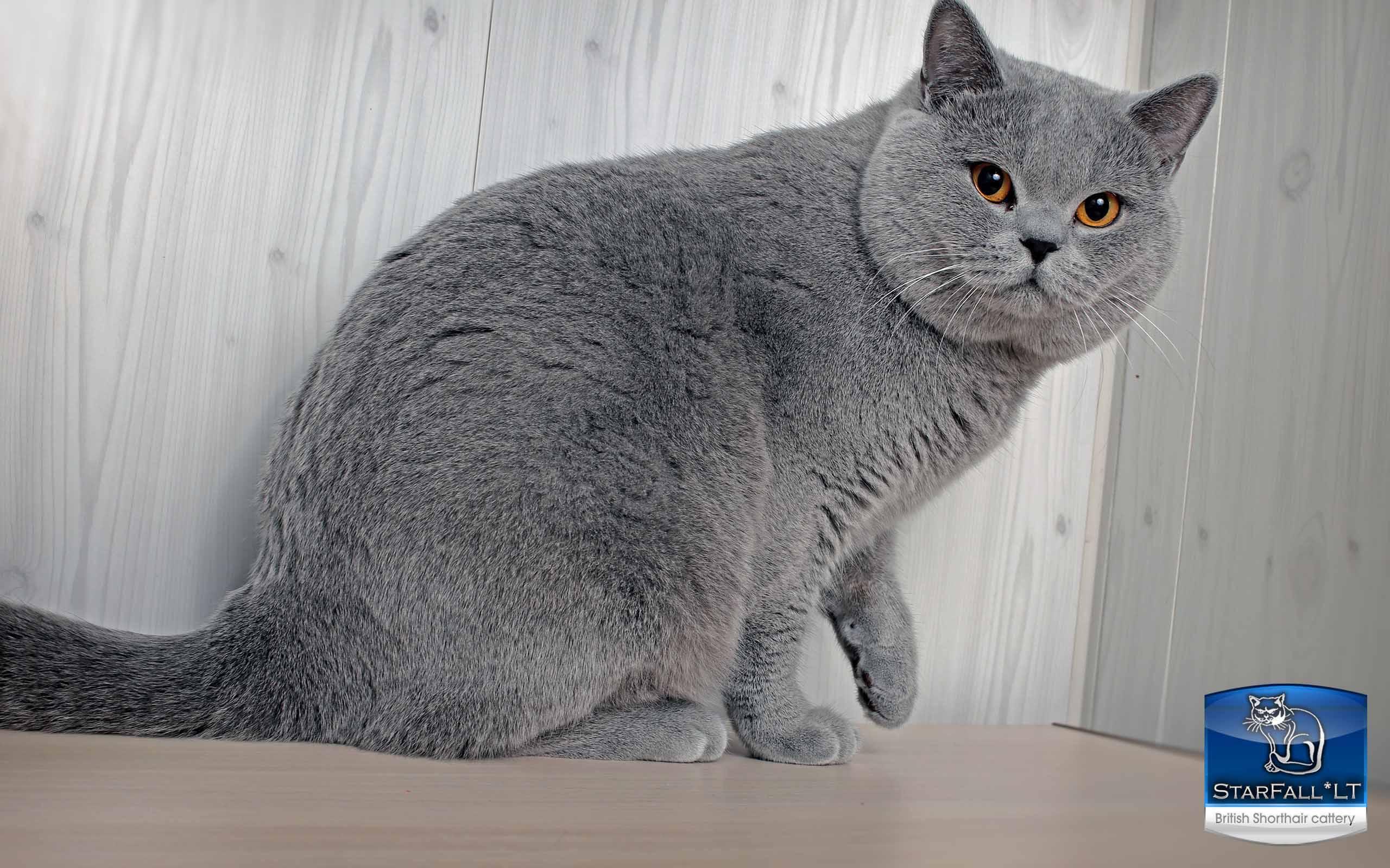 British Shorthair Cattery Starfall Lt