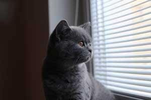 Cats Andromeda Blue British Shorthair Australia - 2
