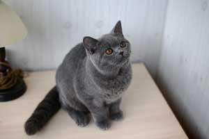 Cats Andromeda British Shorthair Australia Pedigree - 1