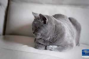 Cats Blackberry British Shorthair Kittens - 13