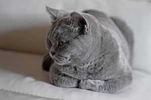 Cats Blackberry British Shorthair Kittens - 12