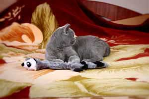 Cats Blackberry British Shorthair - 9
