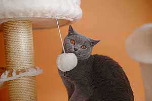 Cats Blackberry British Shorthair - 8