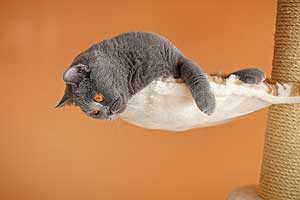Cats Blackberry British Shorthair - 7