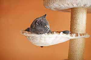 Cats Blackberry British Shorthair - 6