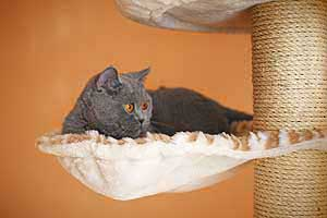 Cats Blackberry British Shorthair - 5