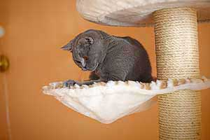 Cats Blackberry British Shorthair - 4