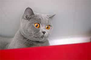 Cats Blackberry British Shorthair Kitchen - 3