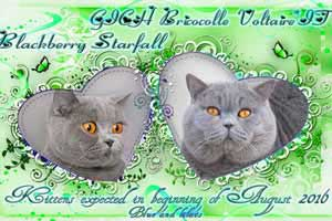 Cats Blackberry Weddings Blacky - 1