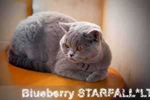 Cats Blueberry British Shorthair Balcon - 39