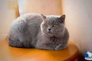 Cats Blueberry British Shorthair Balcon - 38