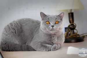 Cats Blueberry British Shorthair Balcon - 37