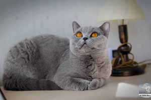 Cats Blueberry British Shorthair Balcon - 36