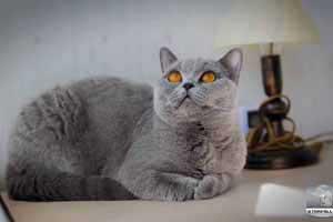 grynaveisliai kačiukai