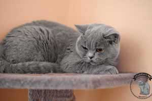 Cats Blueberry British Shorthair Scratch - 26