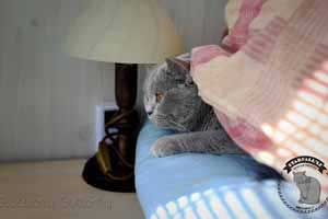 Cats Blueberry British Shorthair Pregnant - 18