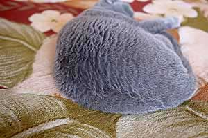 mėlynas britukas