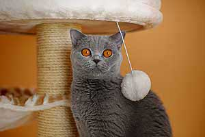Cats Blueberry British Shorthair Eyes - 14