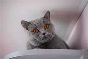 Cats Blueberry British Shorthair Kitchen - 13
