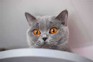 Cats Blueberry British Shorthair Berry Kitchen - 12