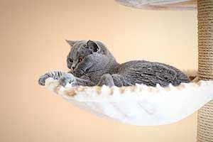 Cats Blueberry British Shorthair Berry - 11