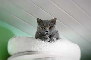 Cats Blueberry British Shorthair Girl - 9