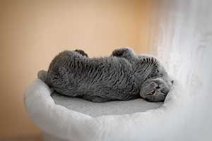 Cats Blueberry British Shorthair - 8