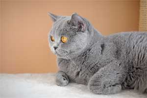 Cats Blueberry Blue British Shorthair Girl With Big Eyes - 5