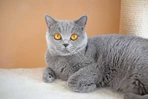 Cats Blueberry Blue British Shorthair Girl With Big Orange Eyes - 4