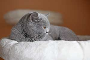 Cats Blueberry Blue British Shorthair Girl With Big Round Eyes - 3