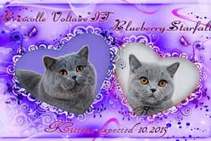 Cats Blueberry Weddings Berry - 1