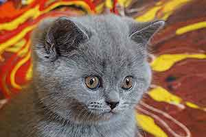 Cats Cassi British Shorthair Blue Girl - 8