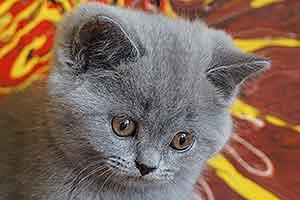 Cats Cassi Britu Trumpaplauke Melyna Mergaite - 7