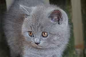 Cats Cassi Britanskaya Korotkosherstnaya Golubaya Devochka - 6
