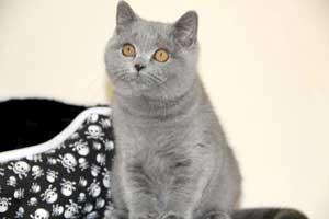 Cats Gitti British Shorthair - 30