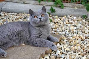 Cats Gitti British Shorthair - 29