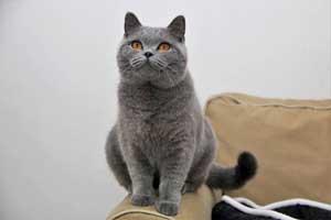 Cats Gitti British Shorthair - 27