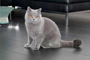 Cats Gitti British Shorthair - 26