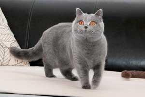Cats Gitti British Shorthair - 25