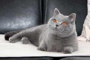 цена котят британцев