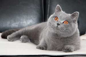 britų mėlynas katinas