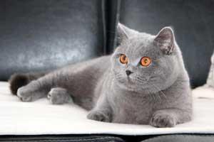 Cats Gitti British Shorthair - 22