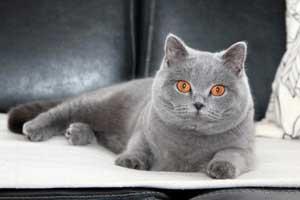 Cats Gitti British Shorthair - 21