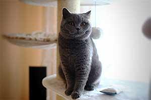 Cats Gitti British Shorthair - 20