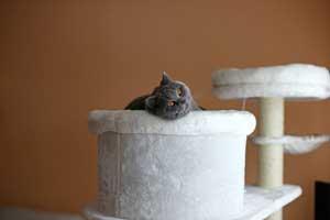 Cats Gitti British Shorthair - 19