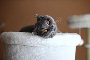 Cats Gitti British Shorthair - 18