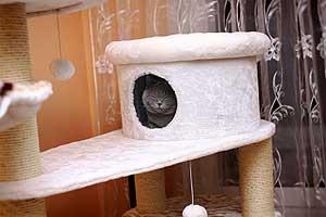 Cats Gitti British Shorthair - 17
