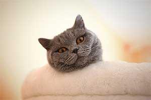Cats Gitti British Shorthair - 15