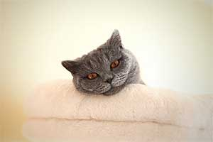 Cats Gitti British Shorthair - 14