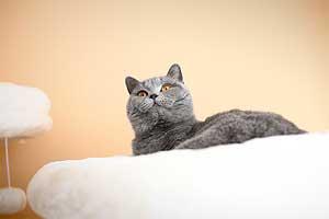 Cats Gitti British Shorthair - 13
